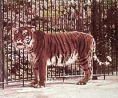 Tigre do Cáspio – 1980 – Cáucaso