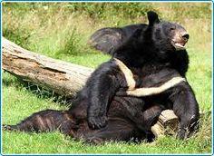Resultado de imagen para ursus tibetano
