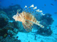Peixe-dragão Encontrados nos oceanos Índico e Pacífico, esses peixes são predadores muito competentes por possuírem diversos espinhos dorsais e peitorais, com os quais prendem suas vítimas, engolindo-as por inteiro. Esses espinhos também têm glândulas que armazenam veneno.