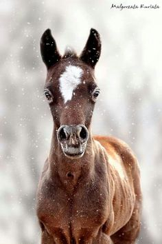 Cute little bay foal in a light snowfall. Such a sweet wide-eyed face. Baby Horses, Wild Horses, Horse Photos, Horse Pictures, Most Beautiful Animals, Beautiful Horses, Baby Animals, Cute Animals, Majestic Horse