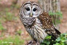 """One Barred Owl was found in Central Park in this year's Bird Count.  They are known for their distinctive hooting, commonly mimicked as, """"Who cooks for you?  Who cooks for you all?"""""""