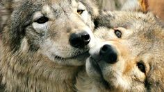 White Wolf : 10 Animals Who Mate For Life (Photos)