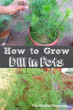 Plant dill herbs in deep pots and place in a sunny area. Learn how to grow dill in pots, care for it, and have a continuous dill harvest! Succulents Garden, Garden Plants, Indoor Plants, Shade Garden, Indoor Garden, Potted Plants, House Plants, Herb Garden Design, Diy Herb Garden