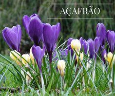 Qual o nome da planta que surge no final do inverno para anunciar a chegada da primavera? Açafrão! #oleomac #oleomacportugal #açafão #planta #medicinal #especiaria