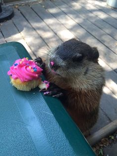 My moms office has a groundhog who regularly comes by for snacks. Today it was someones birthday.