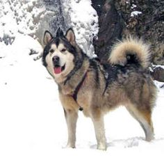 alaskan malamute dog photo | Alaskan Malamutes - Dogs - Jazz Malamute Dog, Alaskan Malamute, Mans Best Friend, Best Friends, Dog Photos, Dogs And Puppies, Jazz, Husky, Creatures