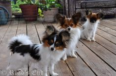Road's End Papillons & Phalenes. I love ALL dogs the 5 Papillons we've loved are so special, the first one especially. Wish I could live long enough to have thousands!