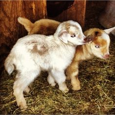 Dogs and Pygmy Goat | Nigerian dwarf/ 1/4 Saanen dairy goats | horses and dogs and more