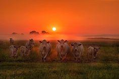 """""""Cows at dawn"""" byPhotographer Radoslaw Dranikowski (http://35photo.ru/photo_1891095/#author/1891095)"""