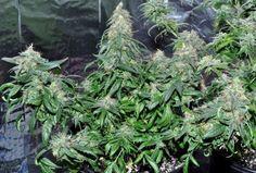 seedsmagic:  bobbyweedlover:  marijuana stuff cannabis weed...