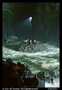 Sea Lions in sea cave. Oregon, USA