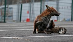 A Short History of the Urban Fox | Foxes Live
