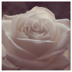 A simple white rose