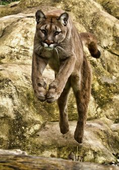 Leaping Puma by Val Saxby... scary killing machine or cute cuddly cat? You decide....