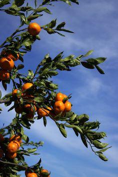 Satsuma Tree by Beth Vincent Orange Aesthetic, Nature Aesthetic, Aesthetic Photo, Aesthetic Pictures, Satsuma Tree, Misty Forest, Peach Trees, Flower Phone Wallpaper, Vintage Flowers