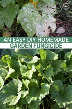 An Easy DIY Homemade Garden Fungicide This article offers up a quick and easy recipe for making your own homemade fungicide This could be a garden saver in the near futu. Natural Teething Remedies, Natural Cures, Garden Pests, Garden Planters, Herbs Garden, Herbal Remedies, Health Remedies, Organic Gardening, Gardening Tips