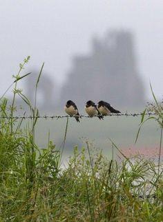 -Country Living - Birds on Barbed Wire Little Birds, Love Birds, Beautiful Birds, Three Birds, Mundo Animal, Parcs, Country Life, Country Living, Farm Life