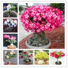 10Pcs Rose Wisteria floribunda Plant Seeds Graines De Fleurs De Vigne Jardin Decor Bonsai