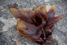 Rødalger – ny mat for norske fat Fat, Plants, Plant, Planets