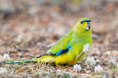 One of the most prominent members of the Australian Grass parakeet family, the Elegant Parrot is a charming little bird with a big personality. Bird Breeds, Budgies, Parrots, Little Birds, Parakeet, Beautiful Birds, Trees To Plant, Pet Birds, Making Out