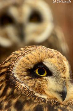 Short Eared Owls.  Antelope Island, Utah.- Handled & my favorite!