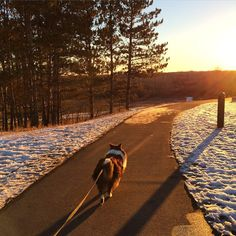 A walk at sunset with the little man. #jasper #Sheltie