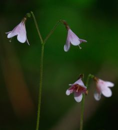 Linnea flower. The flower of Sweden. Named after Carl Linnaeus