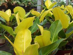 Philodendron 'Moonlight' - ps/shade (no direct sun), 1-2x1-2', z10-11, well drained moist, white & pink flowers (rarely flowers), new leaves bright chartreuse fading to dark over time.
