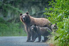 Alaska | Grizzly Bear's Family