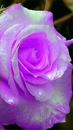 Sugar Rose From Holland - 100 pcs - Jala & Noor Internationally sourced Arabic and Islamic goods Beautiful Rose Flowers, Rare Flowers, Love Rose, Exotic Flowers, Amazing Flowers, Colorful Roses, Pretty Roses, Sugar Rose, Flower Wallpaper