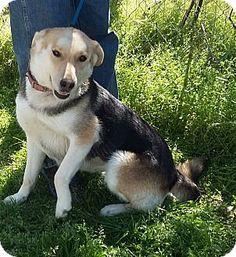 Coyote / German Shepherd....so cool how the of