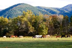 Cades Cove and the beautiful horses grazing in the fields. Always a pleasure to be here!