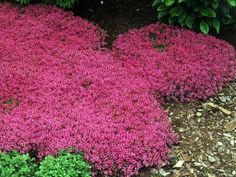 Red Creeping Thyme (Thymus Serpyllum 'Magic Carpet') hardy drought tolerant perennial, pink lemon-scented blooms all summer, inches tall. Red Creeping Thyme, Thymus Serpyllum, Ground Cover Plants, Ornamental Grasses, Lawn And Garden, Garden Tips, Diy Garden, Garden Boxes, Dream Garden