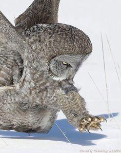 Focused.  Great grey owl, by David Hemmings