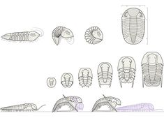 Trilobites: Variations on a Theme Over 300 million years, trilobites evolved a diverse and successful array of forms while maintaining a si...