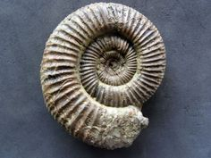Garnierisphinctes sp. (Enay 1959) uploaded in Upper Jurassic Ammonites from South Germany: 8cm. Steinkern. Lower Kimmeridgian. Upper Danube Valley.