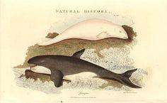 Beluga and Orca, 1813