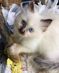 Little Miss Daphne Kittens And Puppies, Baby Kittens, Cute Cats And Kittens, Kittens Cutest, Pretty Cats, Beautiful Cats, Animals Beautiful, Funny Animal Jokes, Funny Animals