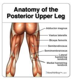 Leg anatomy and the hamstring muscles, biceps femoris, semitendinosus, semimembranosus.