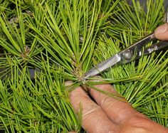 Best article on pine decandling, procedures and ramification.