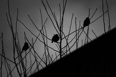 Symbolik. Tre fåglar sittande i en buske  Rubriken är naturligtvis lite annorlunda i och med att det är en smula latin i den. Memento mori - kom ihåg att duär dödlig.  Orden ingick i ett av de sista samtalen jag hade med min yngste son, någon månadinnan han dog.   #Poesi