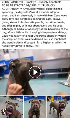"RETURNED 3/24/17!! MOVE2PRIVA!! YOU SELFISH ADOPTER! DON'T YOU EVER OWN A PET AGAIN!! THEY ARE NOT THROW-AWAY-""THINGS""!!/ij🐾🐾 SAFE ❤️❤️ 2/20/17 THANK YOU❤️ PLEASE TAKE GOOD CARE OF HIM AND LOVE HIM FOREVER❤️❤️/ij🐾🐾 Brooklyn Center My name is ZEUS. My Animal ID # is A1103610. I am a neutered male blue and white american staff mix. The shelter thinks I am about 5 YEARS old. I came in the shelter as a STRAY on 02/13/2017 from NY 11210, owner surrender reason stated was STRAY…"