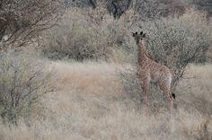 A Baby Giraffe!