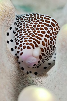 Cowries are rare and reclusive mollusks, and spend most of their lives hiding under rocks in the South Pacific.