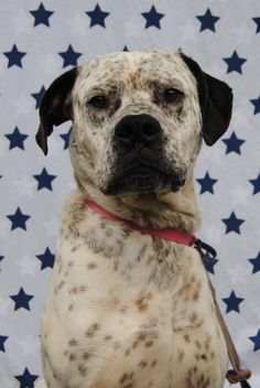 Boof - English Mastiff X Bull Arab Bull Arab Dog, Mongrel, Dog Mixes, English Mastiff, Dog Pin, Hyena, Beautiful Dogs, Rescue Dogs, Dog Days