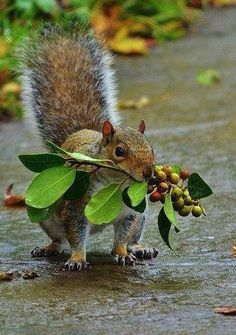 Smart squirrel, taking a lot of food with one run.