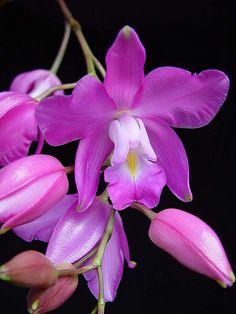Orchid: Laelia eyermaniana oscura, Cultivo Salvador G., Foto RJM (Rolando Jiménez Machorro) - Flickr - Photo Sharing!