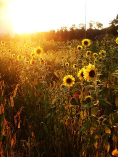 I am determined to be proposed to in a field of sunflowers. And they will be the flowers at my wedding!