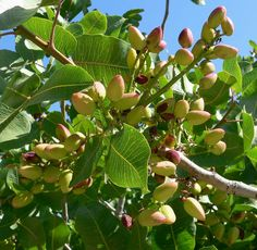 """Feb 26 is National pistachio day. It would be a God-like quality to be like the tree 