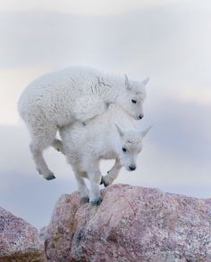 Two Mountain Goat Kids Play Together On Mount Evans. Colorado, USA.  Wildlife Photography